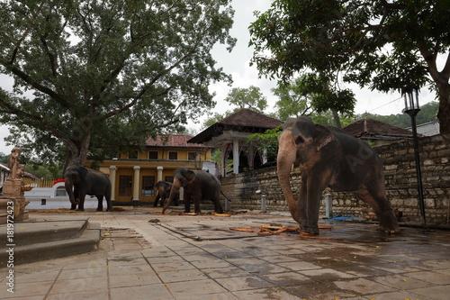 Tempelelefanten von Kandy in Sri Lanka Poster