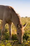 Foal grazing on the grass
