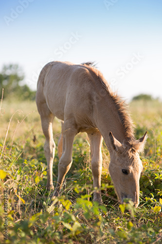 Papiers peints Herbe Foal grazing on the grass