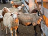 Herd of Sheep in the pen - 181974080