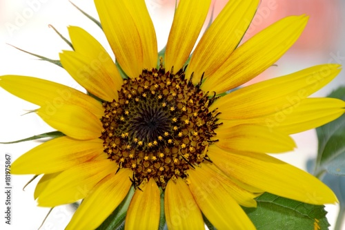 In de dag Oranje Details of a wild sunflower and green leaves with petals and center