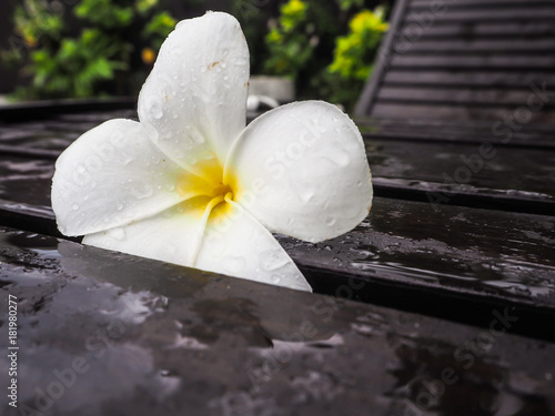 Plexiglas Plumeria White blooming Plumeria or franginpani flower covered with water drops on a wooden lounge bed, Bali