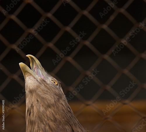 Plexiglas Eagle gray eagle at the zoo