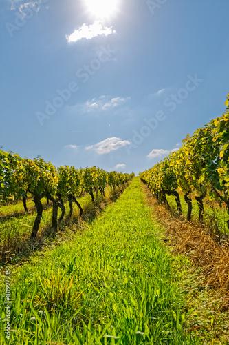 Plexiglas Wijngaard Vineyard at sunny day