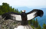 Andean condor - 182008603