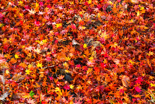 In de dag Oranje eclat Maple leaves is colorful on top view.