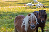 two ponies in the background goats