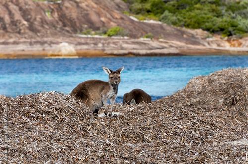 Fotobehang Kangoeroe kangaroo australia