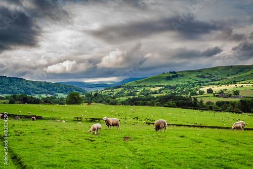 In de dag Bergen Sheeps grazing on pasture in District Lake, England, Europe