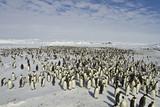 Emperor penguins(aptenodytes forsteri)with Chicks in a colony in the Davis sea,Antarctica - 182026839
