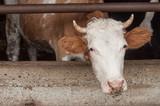 vache dans une étable - 182033013