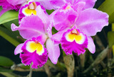 Elegant pink, yellow and white Cattleya orchids blossom in garden; close up
