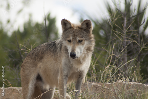 Plexiglas Wolf Wolf (captivity)