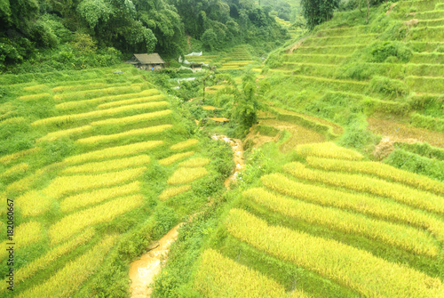 Staande foto Zwavel geel scenery with rice fields in terraces under the rain and the fog in the Sapa vale in Vietnam.