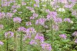 background of flowers purple in Sapa valley in Vietnam. - 182062801
