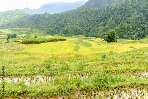 Fotobehang Zwavel geel sight of the fields of rice cultivated in terraces in the Sapa valey in Vietnam.