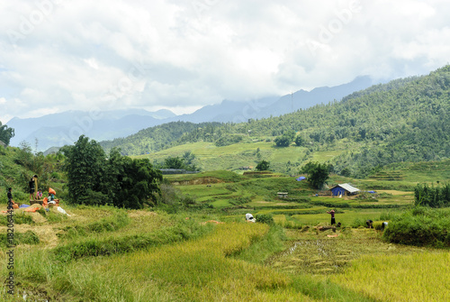 Foto op Plexiglas Wit peasants being employed at the harvest of the rice in the Sapa valey in Vietnam.