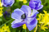 Blue anemone close-up on a green - 182071279