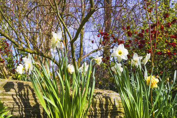 White daffodil flowers in a garden
