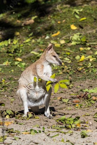 Fotobehang Kangoeroe Flinkwallaby - Macropus agilis