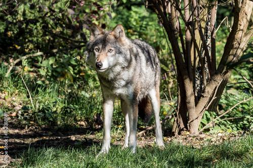 Europäischer Wolf - Canis lupus Poster