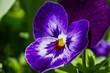Stiefmütterchen - Viola guestphalica