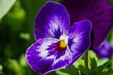Stiefmütterchen - Viola guestphalica - 182094218