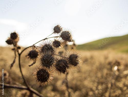 Plexiglas Paardebloemen Dried Dandelions on the Prairie
