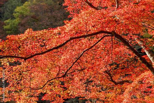 Deurstickers Koraal 紅葉の美しい香嵐渓