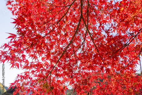 Foto op Canvas Rood traf. 紅葉の美しい香嵐渓