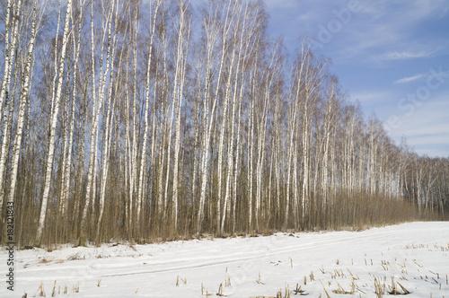 Papiers peints Bosquet de bouleaux берёзовый лес зимой в ясный солнечный день