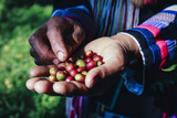 woman handful of fresh organic red coffee beans after harvesting at Little house in the big Woods, initiation Doi Phahom Pok is due to initiative of H.R.H. Queen Sirikit Phra Borommarachininat - 182128282