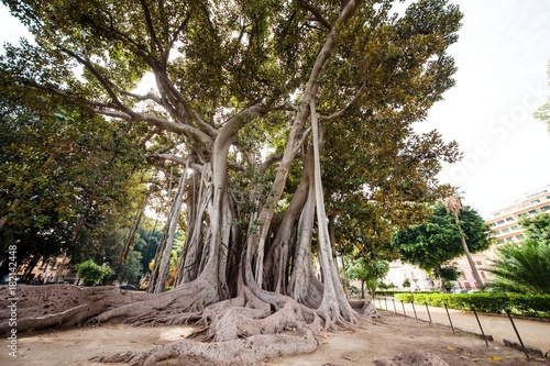 Foto op Plexiglas Palermo Characteristic ficus tree in Palermo botanical garden, Sicily, Italy