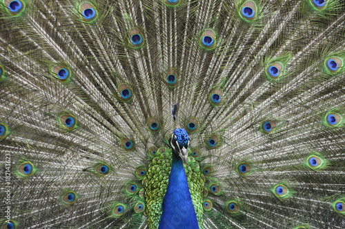 Plexiglas Pauw Peacock front