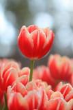 Tulip  - 182144649