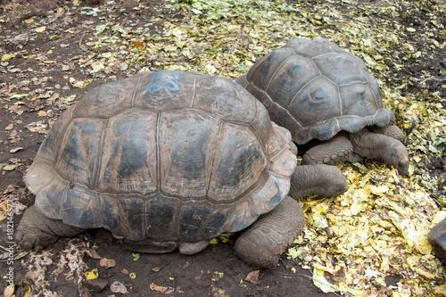 Foto op Aluminium Zanzibar turtle in prison island reservation