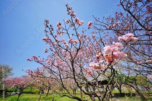 桜咲く公園 Poster
