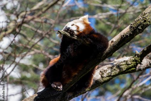 Fotobehang Panda Red panda or ailurus fulgens