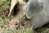 Hausschwein auf einem Bauernhof - 182155633