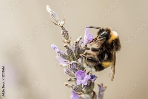 Fotobehang Lavendel Hummel – Lavendel