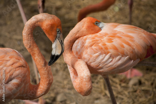 American Flamingos  / The American Flamingos  (Phoenicopterus  ruber)  is a larg Poster