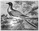 Bird on a branch, passenger pigeon (Ectopistes migratorius) extinct since 1914. Old Illustration by unidentified author, published on Magasin Pittoresque, Paris, 1834 - 182162200