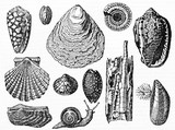 Set of various isolated shell typologies and a snail on white background. Old Illustration by Andrew Best and Leloir published on Magasin Pittoresque Paris 1834 - 182162849