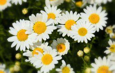 daisy field closeup