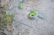 Green frog in pond.