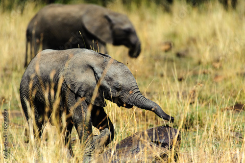 Baby elephant in grass Poster