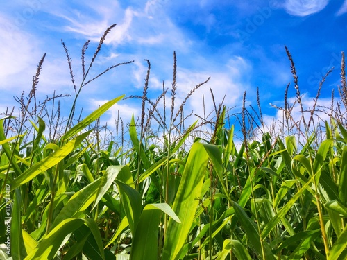 Foto op Aluminium Gras Corn growing against a blue sky