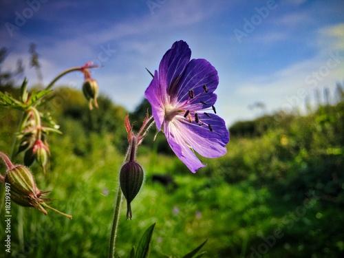 Plexiglas Iris Wild Summer Flower