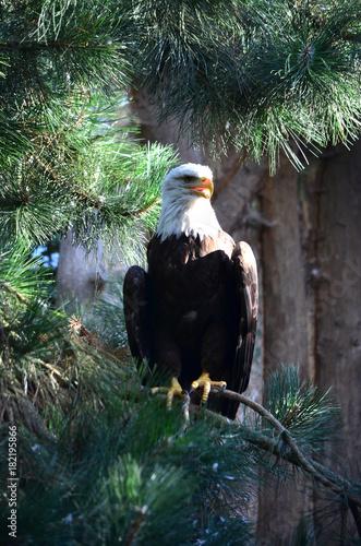 Plexiglas Eagle eagle in the tree