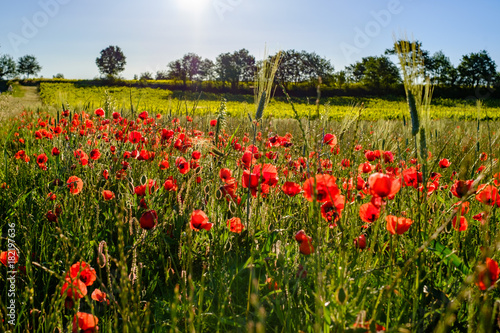 Foto op Canvas Klaprozen Champ des coquelicots et les vignobles en Provence.